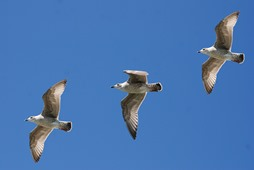 Three gulls flying against the background of a clear, bly sky