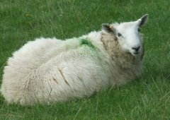 sheep in a field with a green dot on its back