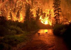 Deers in a stream, surrounded by a forest fire
